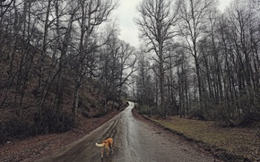 Picture road, forest, dog