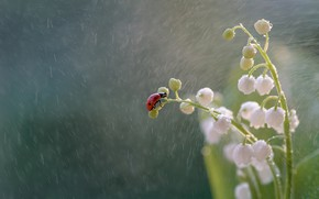 Picture macro, flowers, rain, ladybug, beetle, insect, lilies of the valley