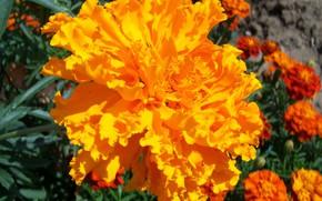 Picture flower, orange, round, barhatets, Meduzanol ©