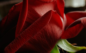 Picture macro, petals, Flower, Red rose, Red rose