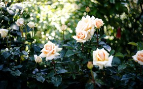 Picture roses, cream, buds