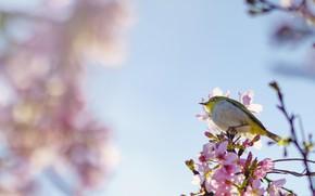 Picture background, bird, Sakura