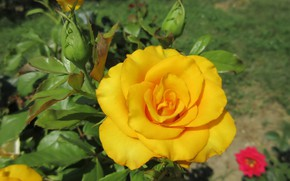 Picture summer, rose, yellow