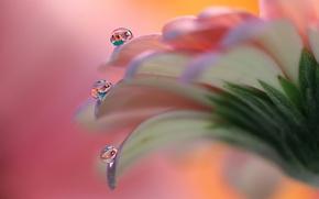 Picture flower, drops, gerbera