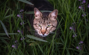 Picture grass, cat, look, face, Bengal cat