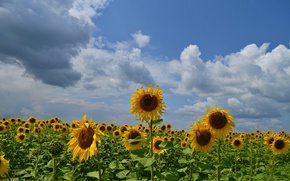 Picture clouds, sunflowers, The sky