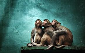Wallpaper background, monkey, zoo