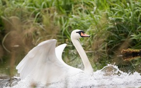 Picture white, water, drops, wings, Swan, beautiful