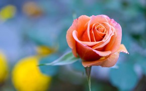 Picture background, rose, Bud, bokeh