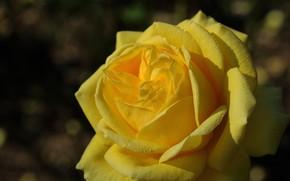 Picture drops, macro, rose, petals, Bud, yellow rose