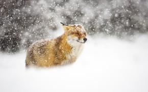 Wallpaper winter, snow, Fox, Fox