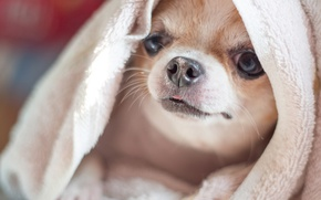 Picture dog, towel, face, Chihuahua, doggie, dog