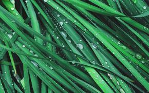 Picture grass, drops, macro, green, Rosa