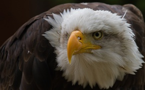 Picture bird, bald eagle, beak