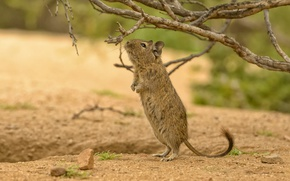 Picture branches, stand, rodent, Degu
