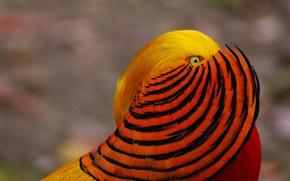 Picture bird, paint, feathers, Golden pheasant