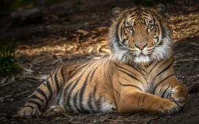 Picture tiger, power, predator