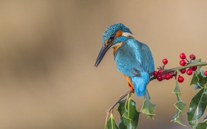 Picture berries, bird, branch, Kingfisher