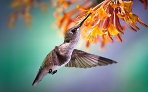 Wallpaper flower, bird, nectar, flight, tropics, Hummingbird
