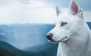 Picture white, breed, dog