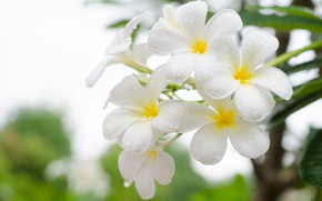 Picture Flowers, Drops, White, Plumeria, Flowering