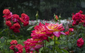 Picture roses, buds, rosary