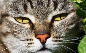 Picture cat, eyes, face