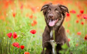 Picture field, language, flowers, nature, Maki, dog, puppy, brown