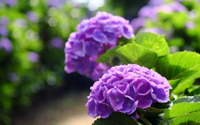 Picture Bush, flowering, purple, hydrangea