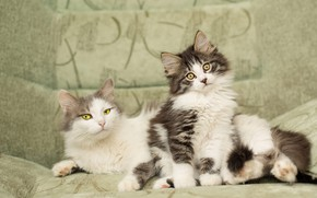 Picture look, cats, pose, comfort, kitty, background, sofa, cats, two, cute, fluffy, family, lies, kitty, a …