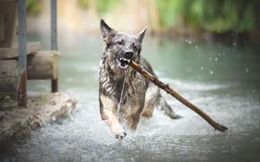Wallpaper river, stick, dog