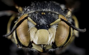 Picture nature, bee, insect, anthidium maculifrons