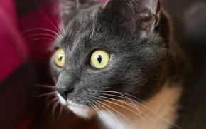 Picture eyes, cat, mustache, macro