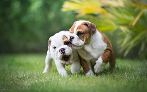 Picture the game, puppies, a couple, dogs, English bulldog