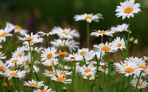 Picture nature, chamomile, bugs