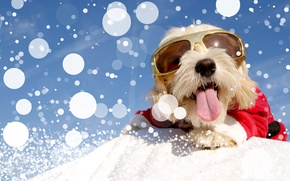Picture winter, snow, dog, glasses, costume, Christmas, winter, snow, Dogs, Bolognese
