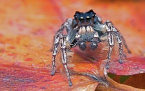 Picture macro, red, sheet, background, legs, spider, jumper, jumper, spider, the Hoppy
