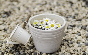 Picture flowers, stones, chamomile, lake, camomile