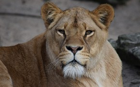 Picture Look, Cat, Lioness, Face