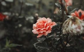 Picture flower, gentle, rose, coral