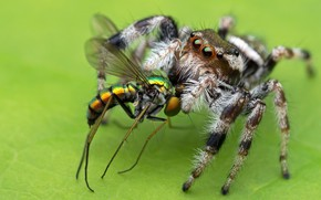 Picture macro, green, background, the victim, spider, predator, insect, jumper, Midge, the Hoppy