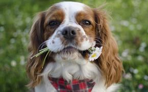 Picture flowers, muzzle, Spaniel