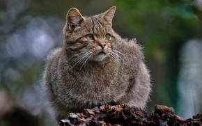 Picture predator, Wildcat, Wild Cat