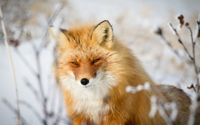 Picture look, face, Fox, red, bokeh, sly look