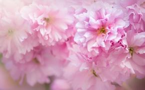 Picture macro, pink, Sakura