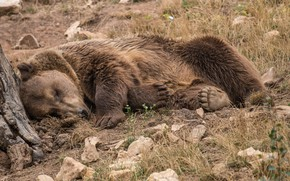 Picture nature, stay, sleep, Bear