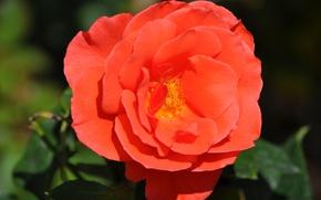 Picture Macro, Rose, Rose, Macro