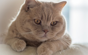 Picture cat, look, portrait, muzzle, Kote, handsome, cat, British Shorthair