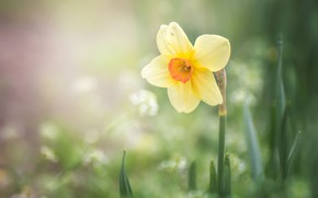 Wallpaper spring, yellow, Narcissus