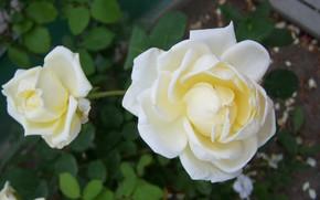 Picture flowers, roses, white, Meduzanol ©